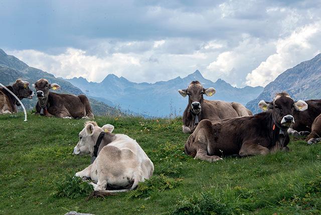 Mucche sul Passo del Bernina